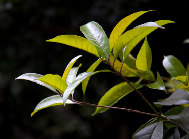 tea-tree-leaves